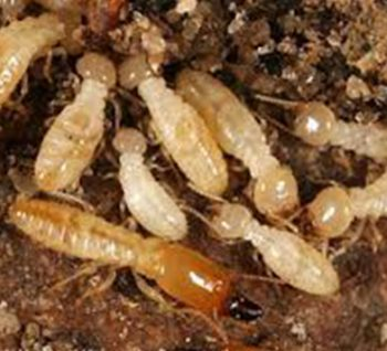 termite-inspections-and-treatments1